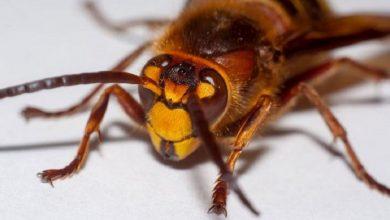 Photo of اضرار حشرة البق على الإنسان