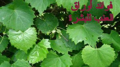 Photo of فوائد أوراق العنب للبشرة